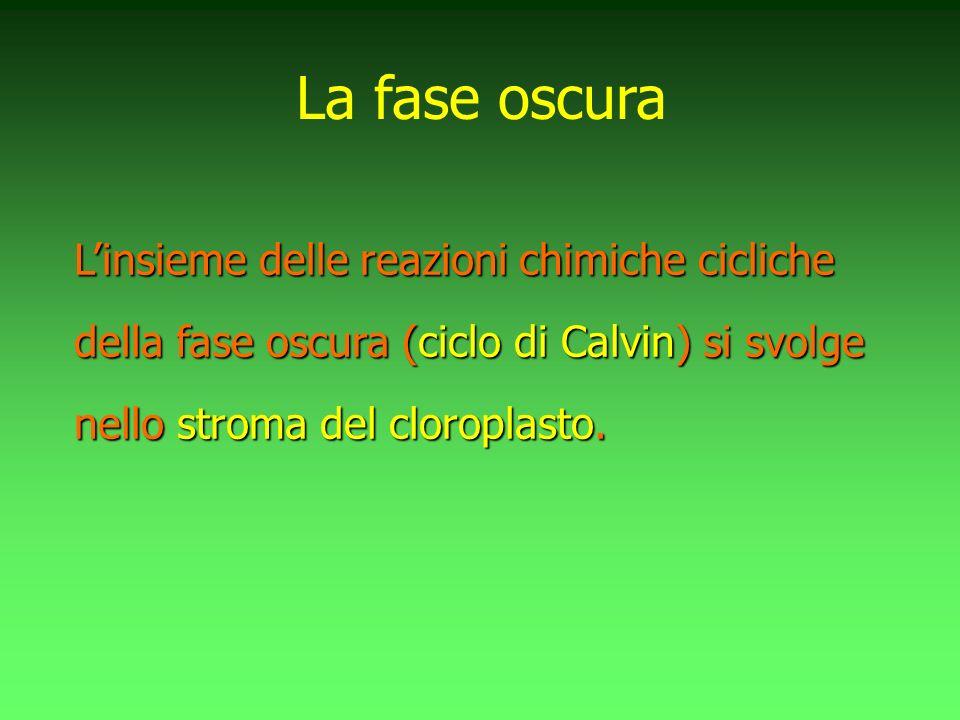 Linsieme delle reazioni chimiche cicliche della fase oscura (ciclo di Calvin) si svolge nello stroma del cloroplasto. La fase oscura