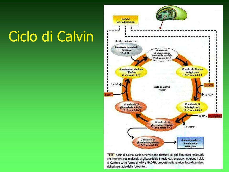 Ciclo di Calvin