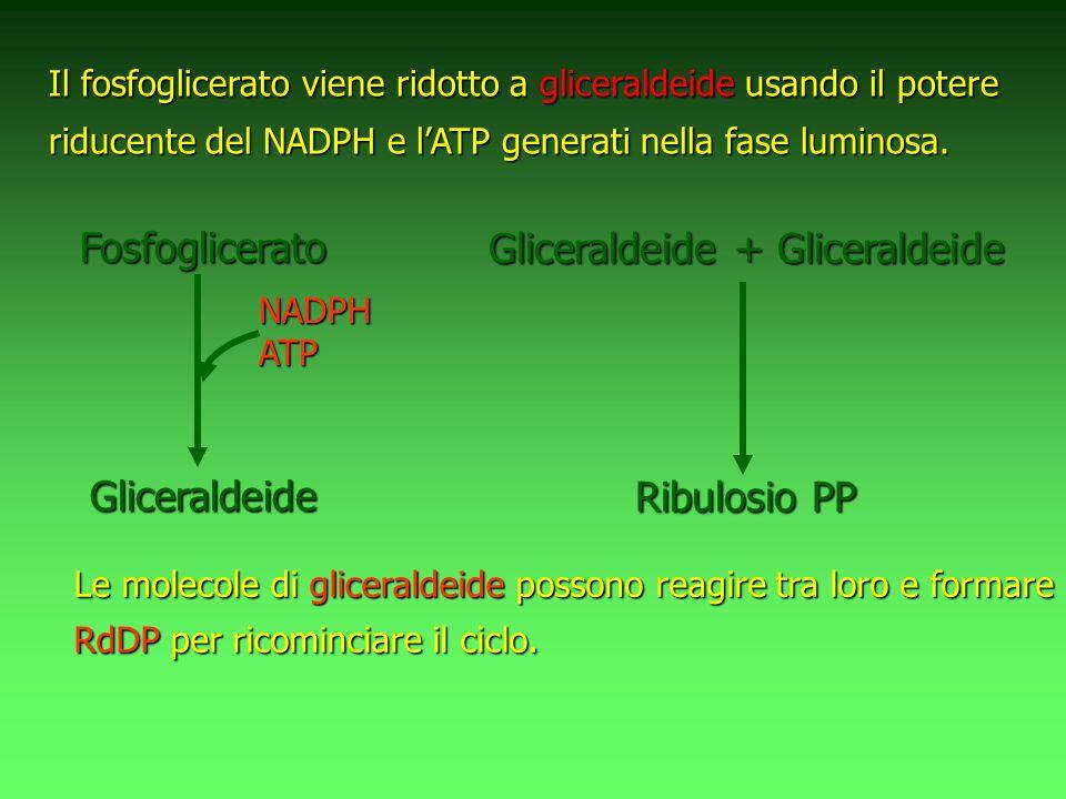 Le molecole di gliceraldeide possono reagire tra loro e formare RdDP per ricominciare il ciclo. Il fosfoglicerato viene ridotto a gliceraldeide usando