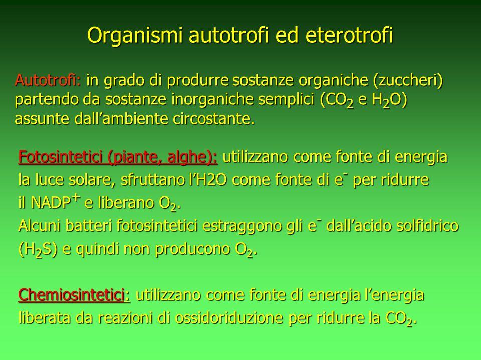 Fotosintetici (piante, alghe): utilizzano come fonte di energia la luce solare, sfruttano lH2O come fonte di e - per ridurre il NADP + e liberano O 2.
