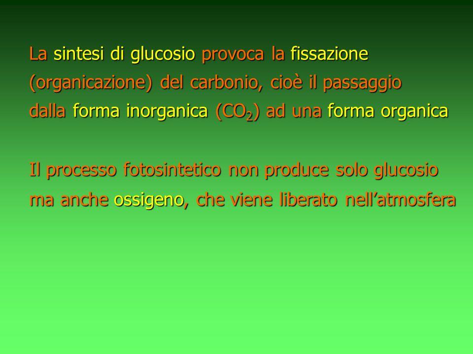 Il processo fotosintetico non produce solo glucosio ma anche ossigeno, ossigeno, che viene liberato nellatmosfera La sintesi di di glucosio glucosio provoca la la fissazione (organicazione) (organicazione) del carbonio, cioè il passaggio dalla forma inorganica inorganica (CO 2 ) (CO 2 ) ad una forma organica