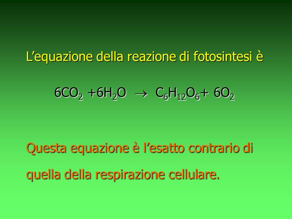 Lequazione della reazione di fotosintesi è 6CO 2 6CO 2 +6H 2 O +6H 2 O C 6 H 12 O 6 + C 6 H 12 O 6 + 6O 2 Questa equazione è lesatto contrario di quella della respirazione cellulare.