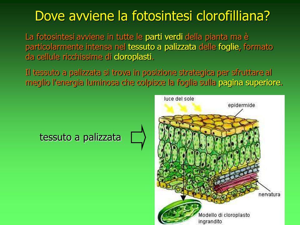 La fotosintesi avviene in tutte le parti verdi della pianta ma è particolarmente intensa nel tessuto a palizzata delle foglie, formato da cellule ricchissime di cloroplasti.