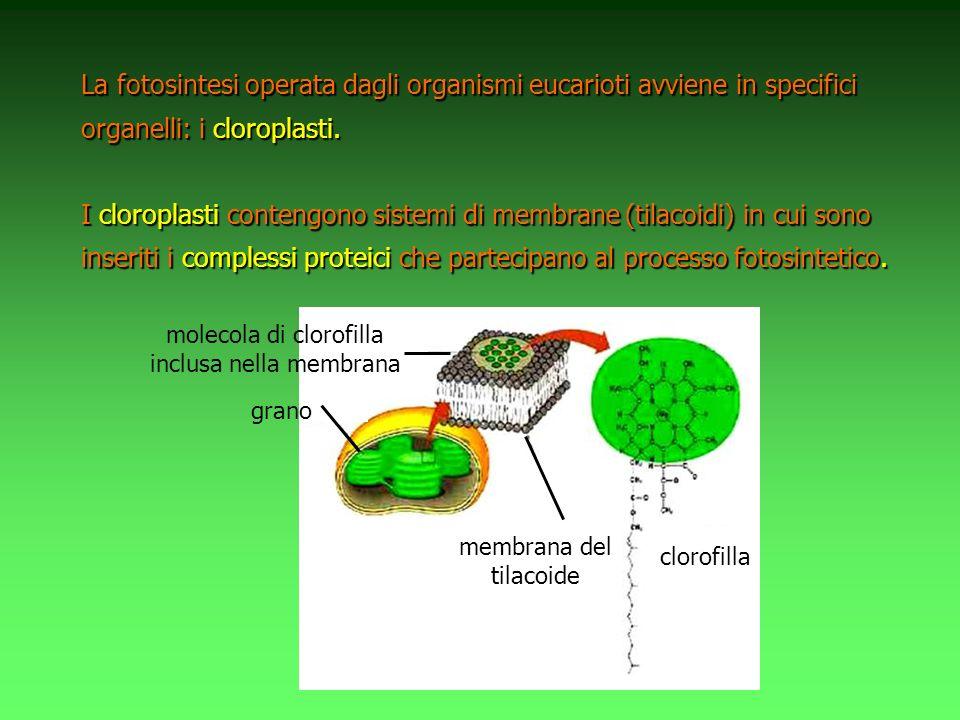 La fotosintesi operata dagli organismi eucarioti avviene in specifici organelli: i cloroplasti. I cloroplasti contengono sistemi di membrane (tilacoid
