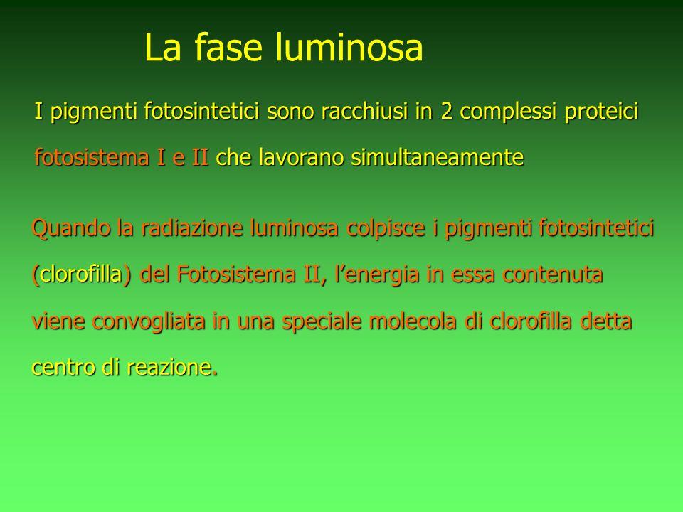 I pigmenti fotosintetici sono racchiusi in 2 complessi proteici fotosistema I e II che lavorano simultaneamente La fase luminosa Quando la radiazione