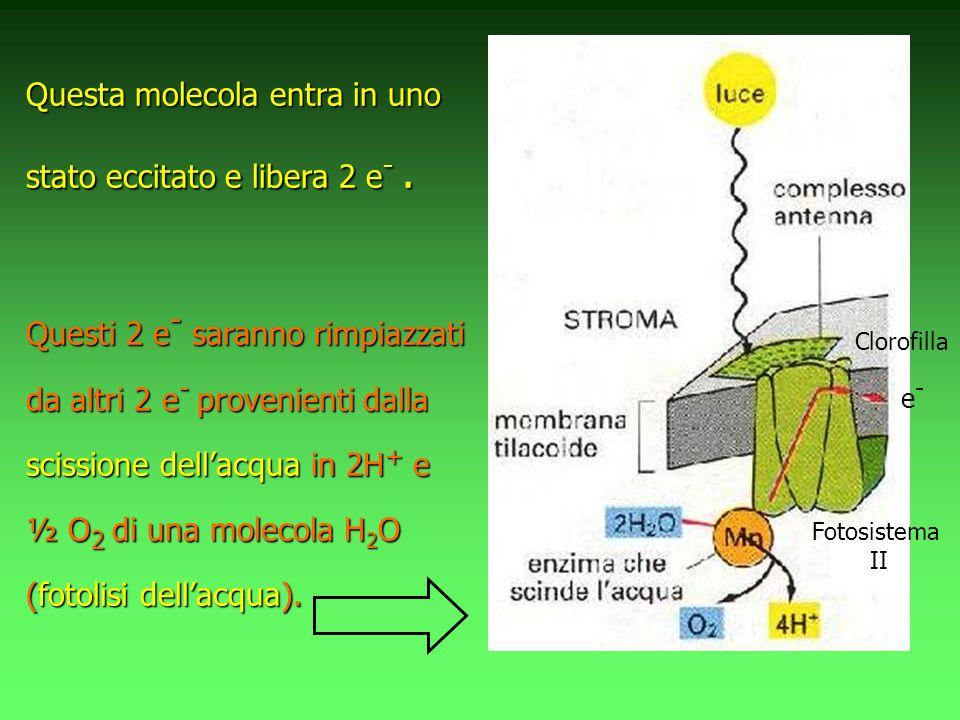 Questa molecola entra in uno stato eccitato e libera 2 e -. Questi 2 e - saranno rimpiazzati da altri 2 e - provenienti dalla scissione dellacqua in 2