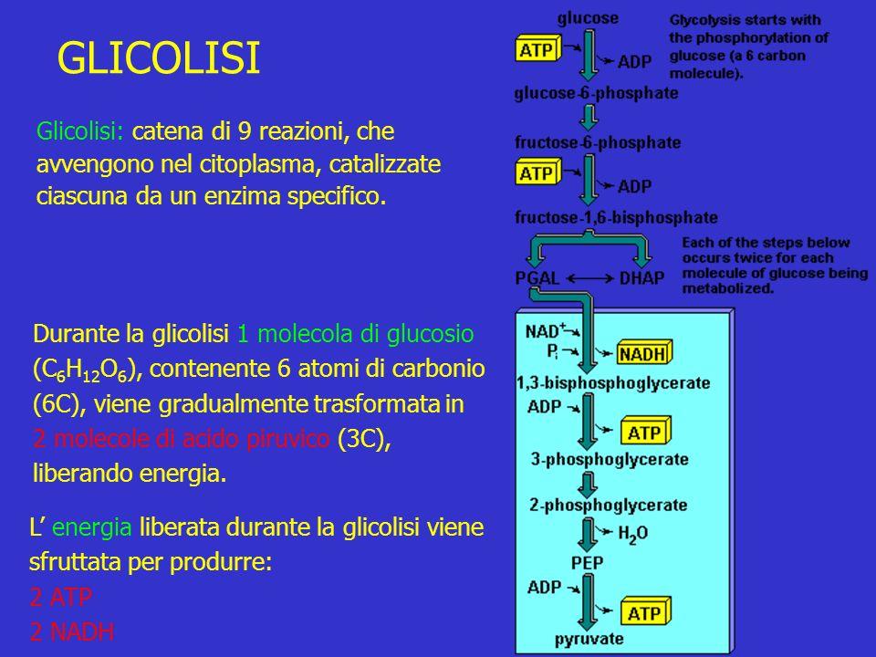 L energia liberata durante la glicolisi viene sfruttata per produrre: 2 ATP 2 NADH GLICOLISI Glicolisi: catena di 9 reazioni, che avvengono nel citoplasma, catalizzate ciascuna da un enzima specifico.