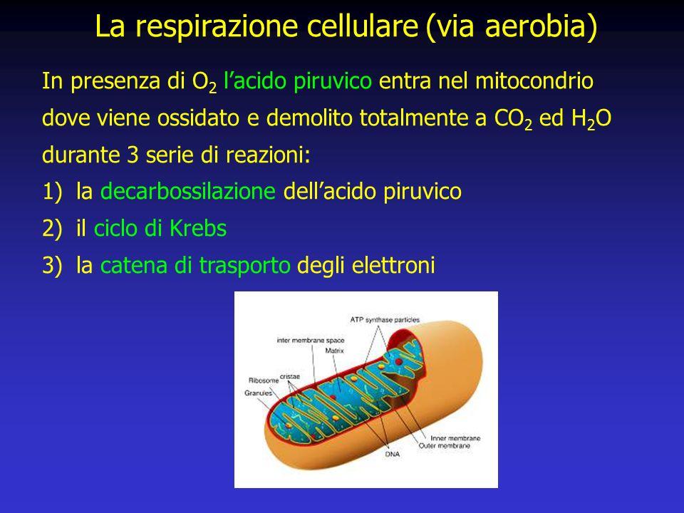 In presenza di O 2 lacido piruvico entra nel mitocondrio dove viene ossidato e demolito totalmente a CO 2 ed H 2 O durante 3 serie di reazioni: 1)la decarbossilazione dellacido piruvico 2)il ciclo di Krebs 3)la catena di trasporto degli elettroni La respirazione cellulare (via aerobia)