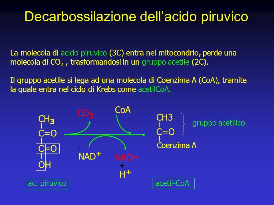 La molecola di acido piruvico (3C) entra nel mitocondrio, perde una molecola di CO 2, trasformandosi in un gruppo acetile (2C).