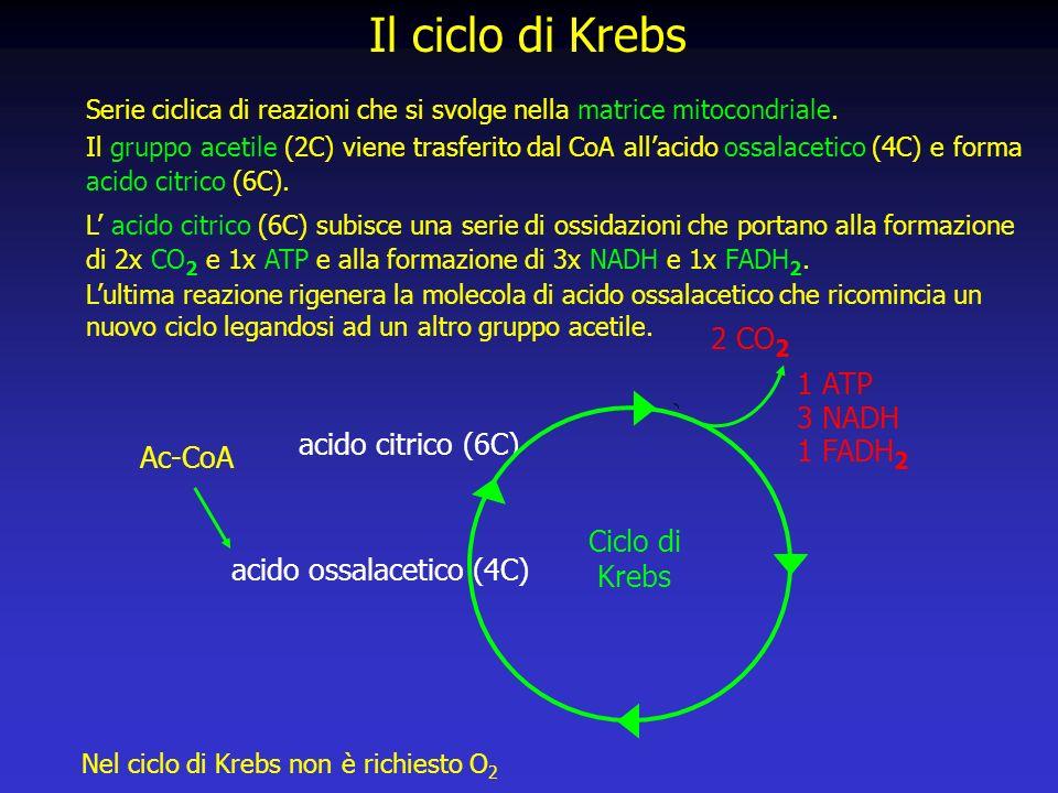 Il ciclo di Krebs Serie ciclica di reazioni che si svolge nella matrice mitocondriale.