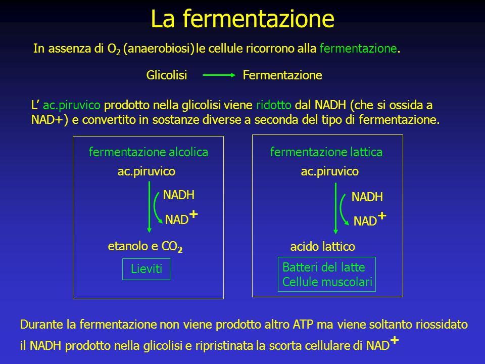Durante la fermentazione non viene prodotto altro ATP ma viene soltanto riossidato il NADH prodotto nella glicolisi e ripristinata la scorta cellulare di NAD + La fermentazione In assenza di O 2 (anaerobiosi) le cellule ricorrono alla fermentazione.