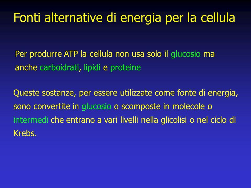 Per produrre ATP la cellula non usa solo il glucosio ma anche carboidrati, lipidi e proteine Fonti alternative di energia per la cellula Queste sostanze, per essere utilizzate come fonte di energia, sono convertite in glucosio o scomposte in molecole o intermedi che entrano a vari livelli nella glicolisi o nel ciclo di Krebs.