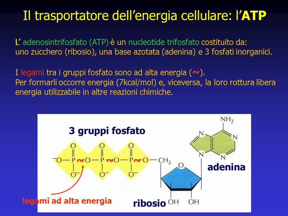 Il trasportatore dellenergia cellulare: lATP ribosio adenina 3 gruppi fosfato L adenosintrifosfato (ATP) è un nucleotide trifosfato costituito da: uno zucchero (ribosio), una base azotata (adenina) e 3 fosfati inorganici.