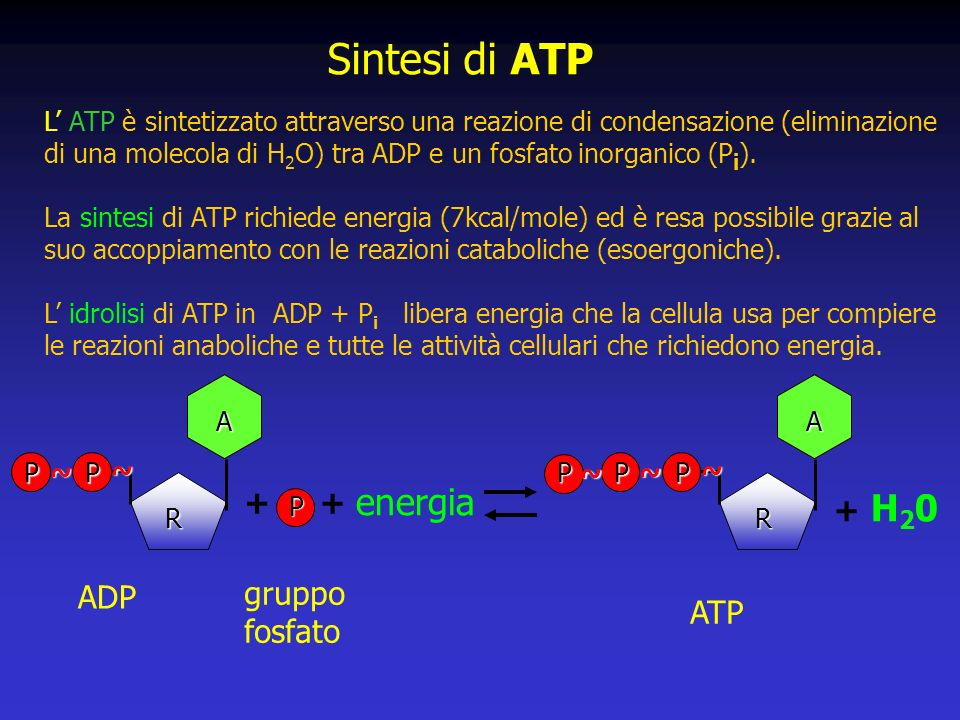 ADP +P gruppo fosfato + energia H20H20 + ATP Sintesi di ATP L ATP è sintetizzato attraverso una reazione di condensazione (eliminazione di una molecola di H 2 O) tra ADP e un fosfato inorganico (P i ).
