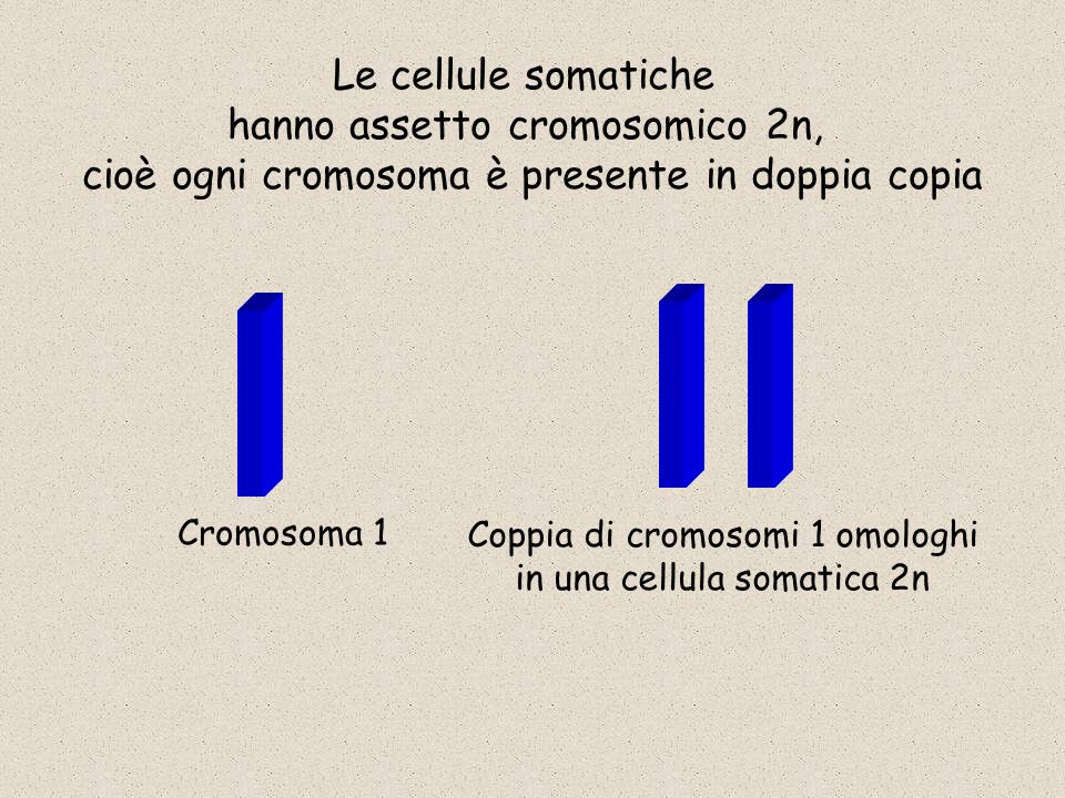 Cromosoma 1 Le cellule somatiche hanno assetto cromosomico 2n, cioè ogni cromosoma è presente in doppia copia Coppia di cromosomi 1 omologhi in una ce