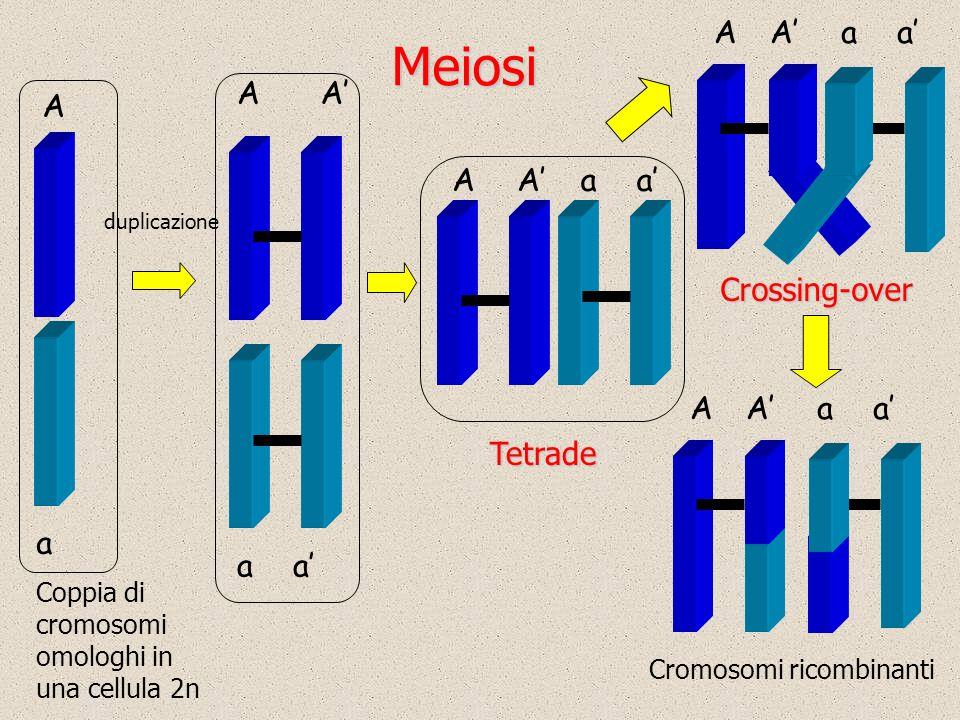 Meiosi Coppia di cromosomi omologhi in una cellula 2n duplicazione a A a A a AAaaTetrade A AAaa Cromosomi ricombinanti AAaa Crossing-over