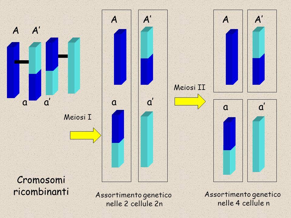 AA aa AA aa Assortimento genetico nelle 2 cellule 2n AA aa Assortimento genetico nelle 4 cellule n Meiosi I Meiosi II Cromosomi ricombinanti