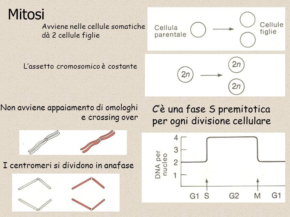 Mitosi Avviene nelle cellule somatiche dà 2 cellule figlie Lassetto cromosomico è costante Cè una fase S premitotica per ogni divisione cellulare Non