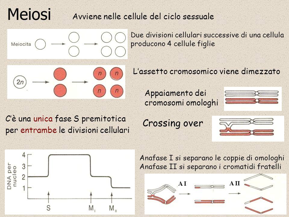 Meiosi Avviene nelle cellule del ciclo sessuale Due divisioni cellulari successive di una cellula producono 4 cellule figlie Lassetto cromosomico vien