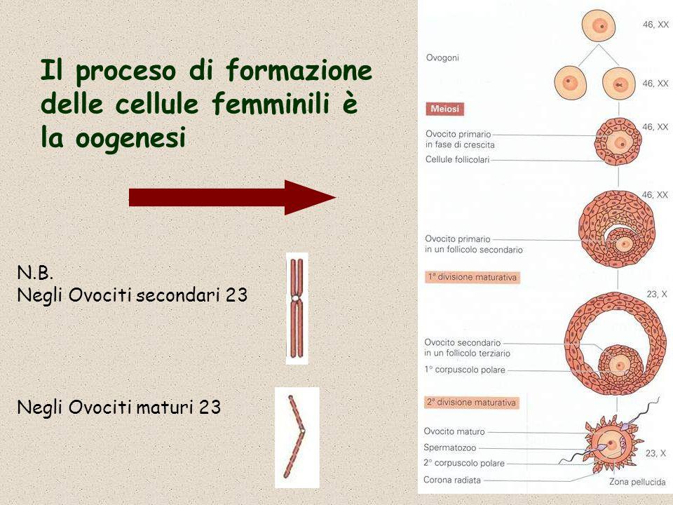 Il proceso di formazione delle cellule femminili è la oogenesi N.B. Negli Ovociti secondari 23 Negli Ovociti maturi 23