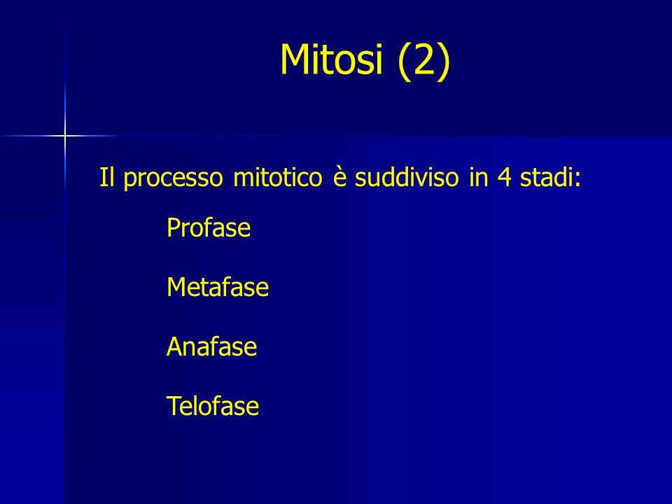 Il processo mitotico è suddiviso in 4 stadi: Profase Metafase Anafase Telofase Mitosi (2)