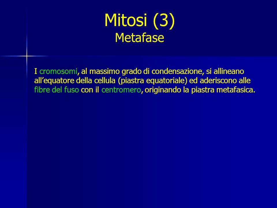 I cromosomi, al massimo grado di condensazione, si allineano allequatore della cellula (piastra equatoriale) ed aderiscono alle fibre del fuso con il centromero, originando la piastra metafasica.