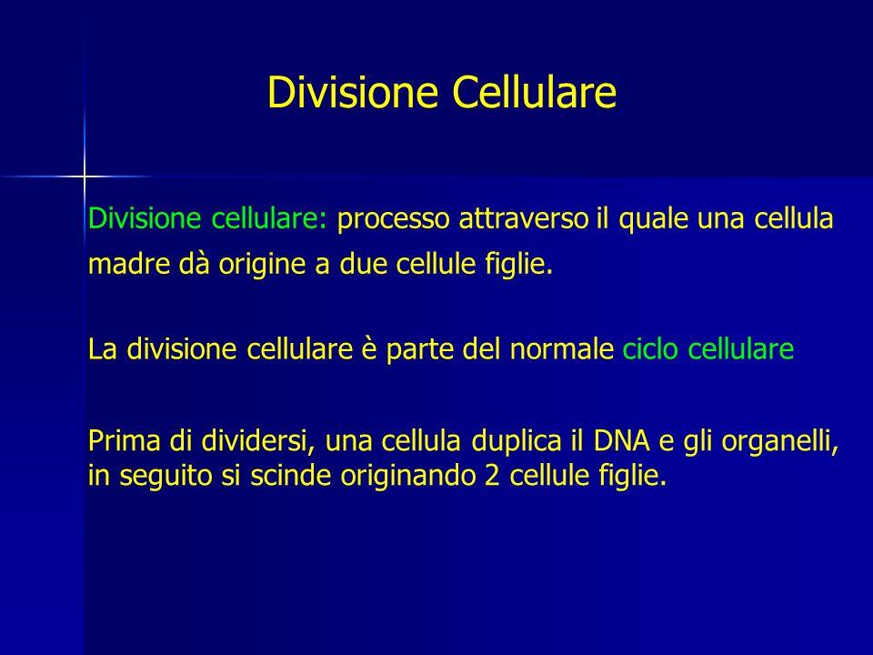 La divisione cellulare è parte del normale ciclo cellulare Divisione Cellulare Divisione cellulare: processo attraverso il quale una cellula madre dà origine a due cellule figlie.