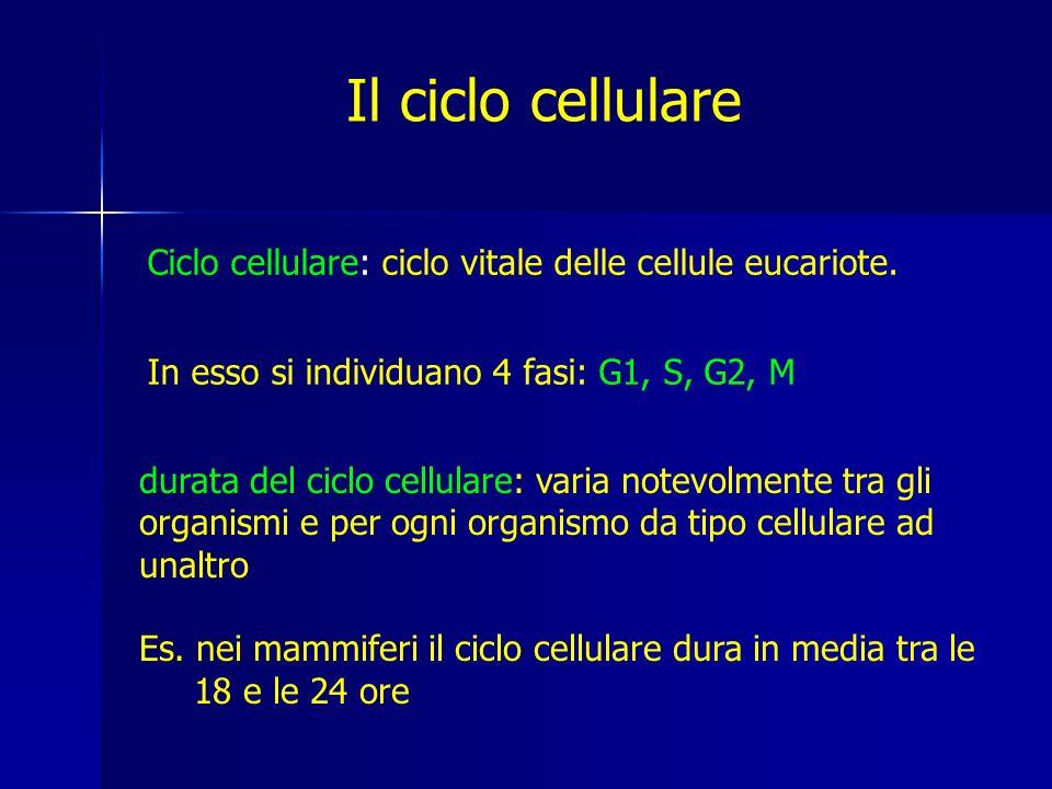 G1: è il momento in cui la cellula si accresce ed è attiva dal punto di vista biosintetico.