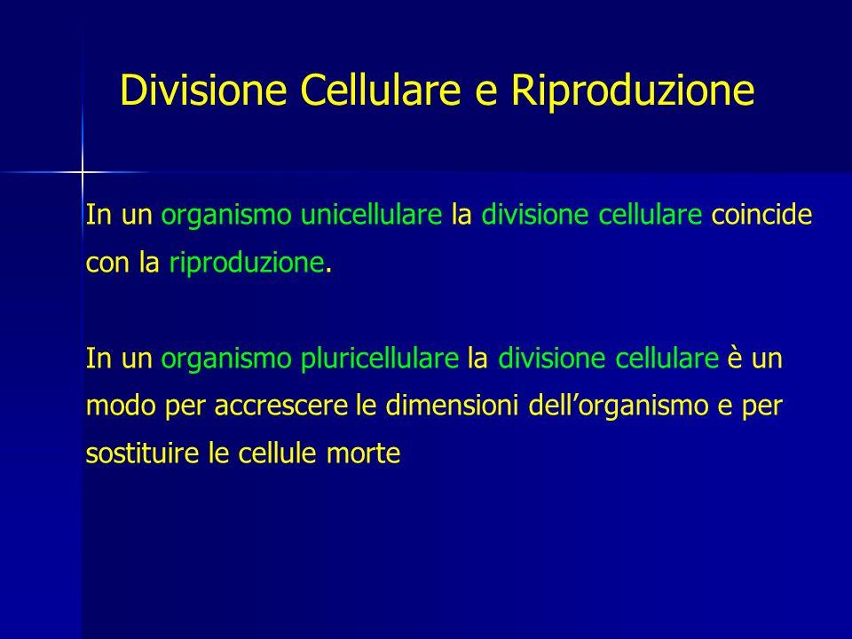 E di tipo binario: la cellula si accresce, il cromosoma circolare della cellula si duplica e le due copie si distribuiscono ciascuna in una delle due cellule figlie.