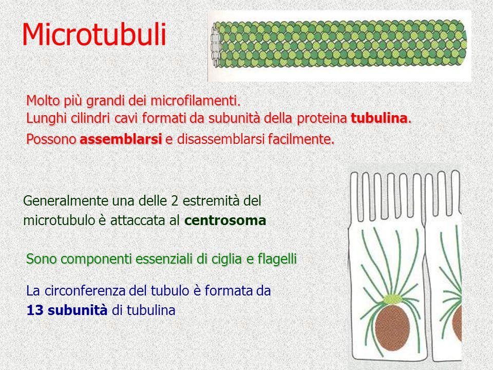 Microtubuli Generalmente una delle 2 estremità del microtubulo è attaccata al centrosoma Sono componenti essenziali di ciglia e flagelli Molto più gra