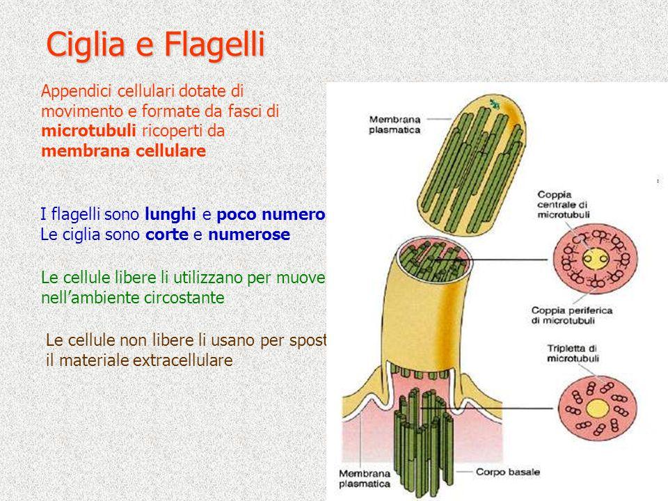 Ciglia e Flagelli Le cellule libere li utilizzano per muoversi nellambiente circostante I flagelli sono lunghi e poco numerosi Le ciglia sono corte e