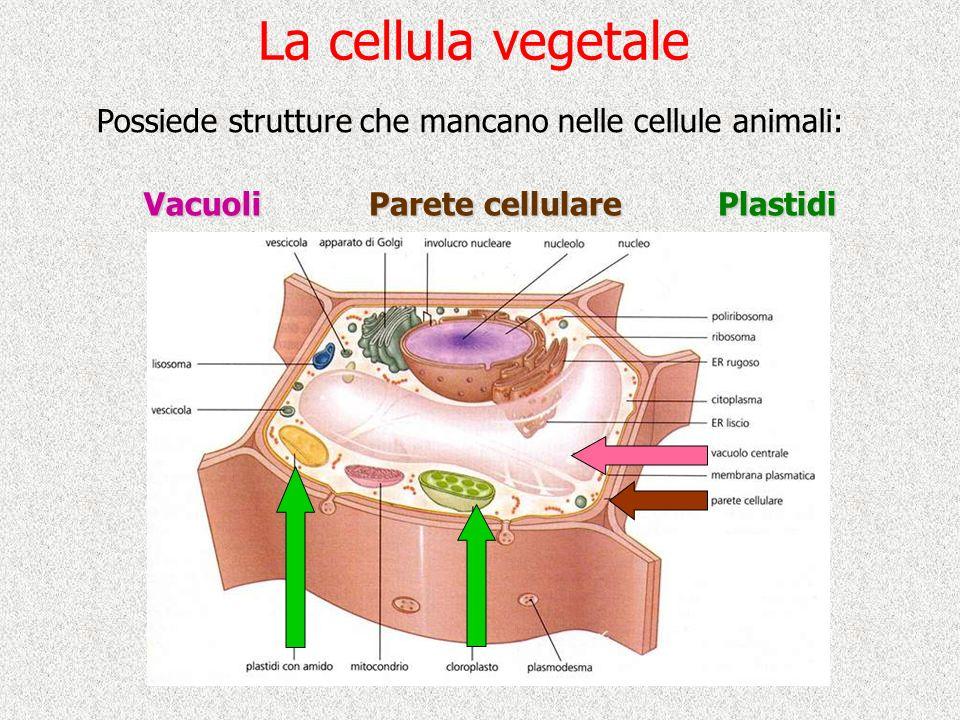 La cellula vegetale Possiede strutture che mancano nelle cellule animali: Vacuoli Parete cellulare Plastidi