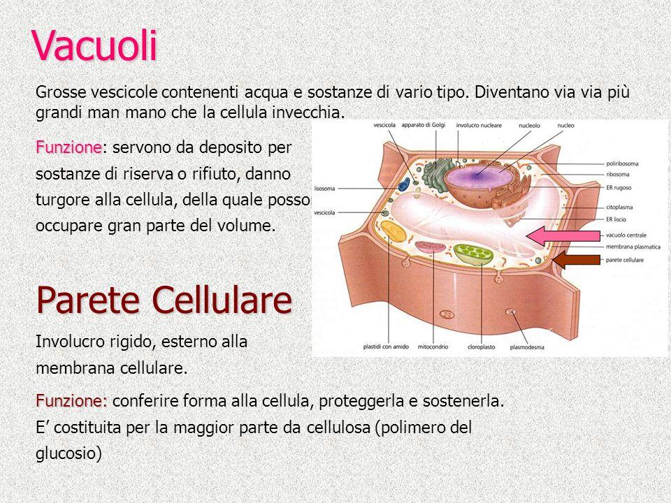 Funzione: Funzione: conferire forma alla cellula, proteggerla e sostenerla. E costituita per la maggior parte da cellulosa (polimero del glucosio) Vac