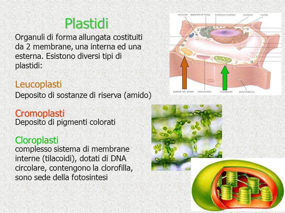 Plastidi Organuli di forma allungata costituiti da 2 membrane, una interna ed una esterna. Esistono diversi tipi di plastidi: Deposito di sostanze di