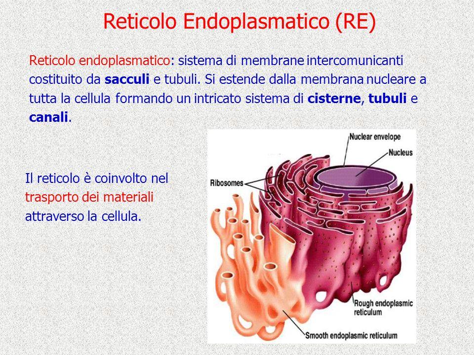 Reticolo Endoplasmatico (RE) Reticolo endoplasmatico: sistema di membrane intercomunicanti costituito da sacculi e tubuli. Si estende dalla membrana n