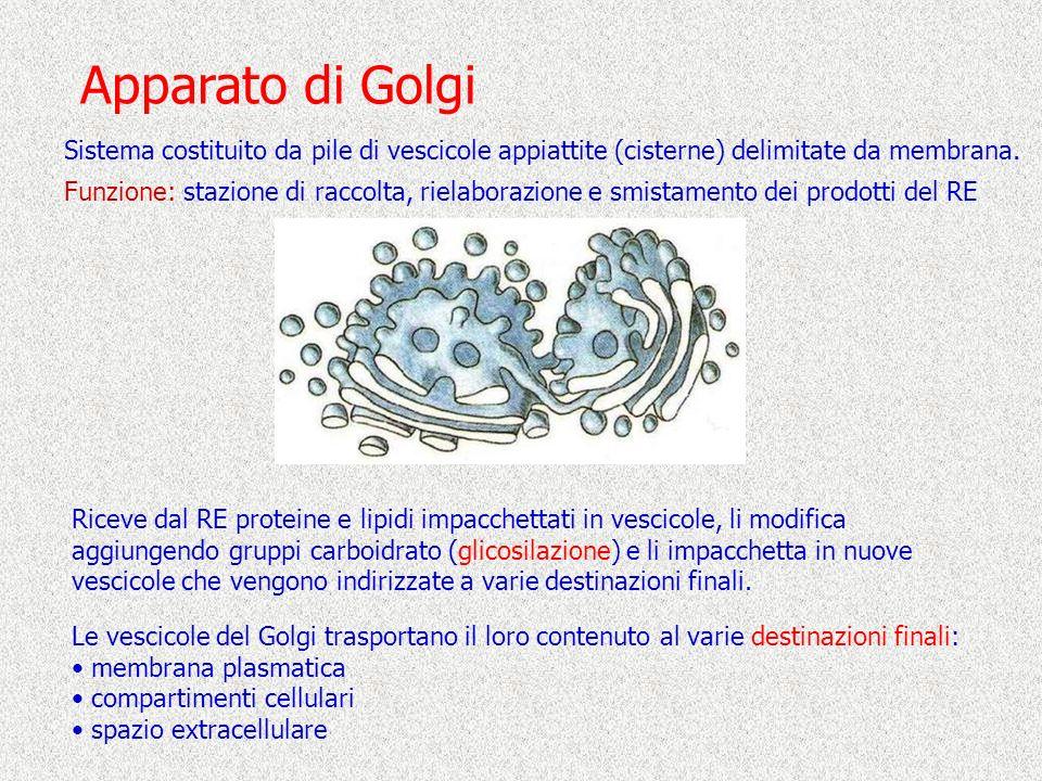 Apparato di Golgi Sistema costituito da pile di vescicole appiattite (cisterne) delimitate da membrana. Funzione: stazione di raccolta, rielaborazione
