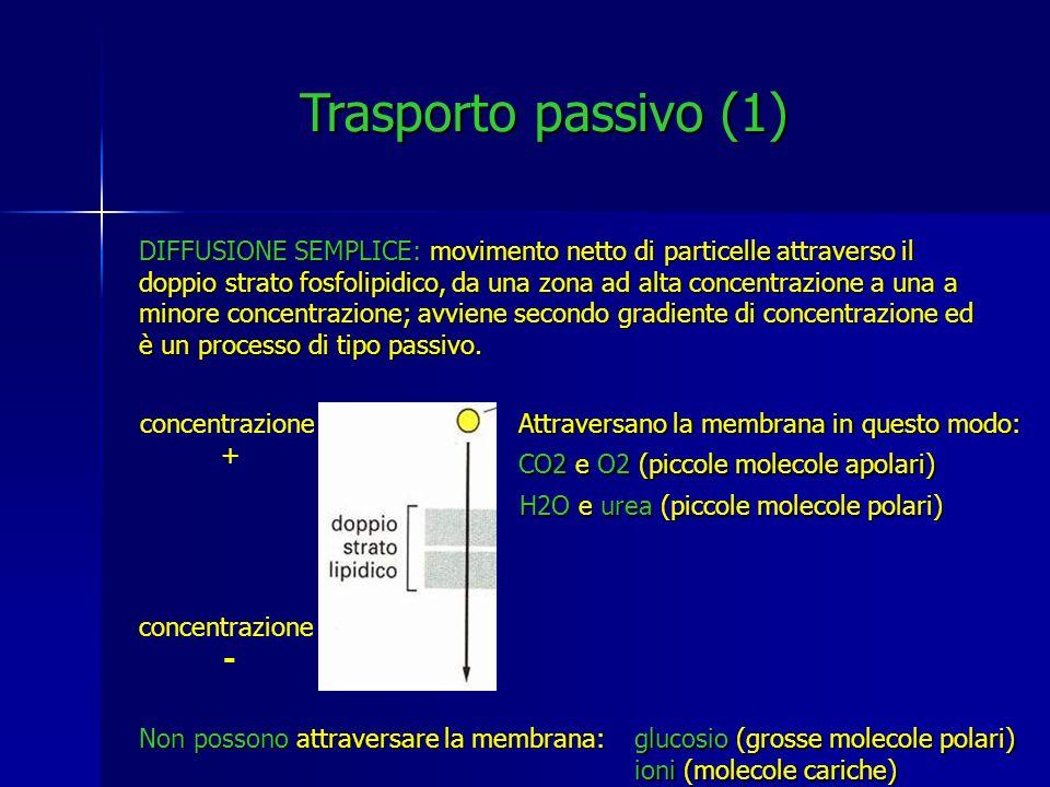 DIFFUSIONE SEMPLICE: movimento netto di particelle attraverso il doppio strato fosfolipidico, da una zona ad alta concentrazione a una a minore concen