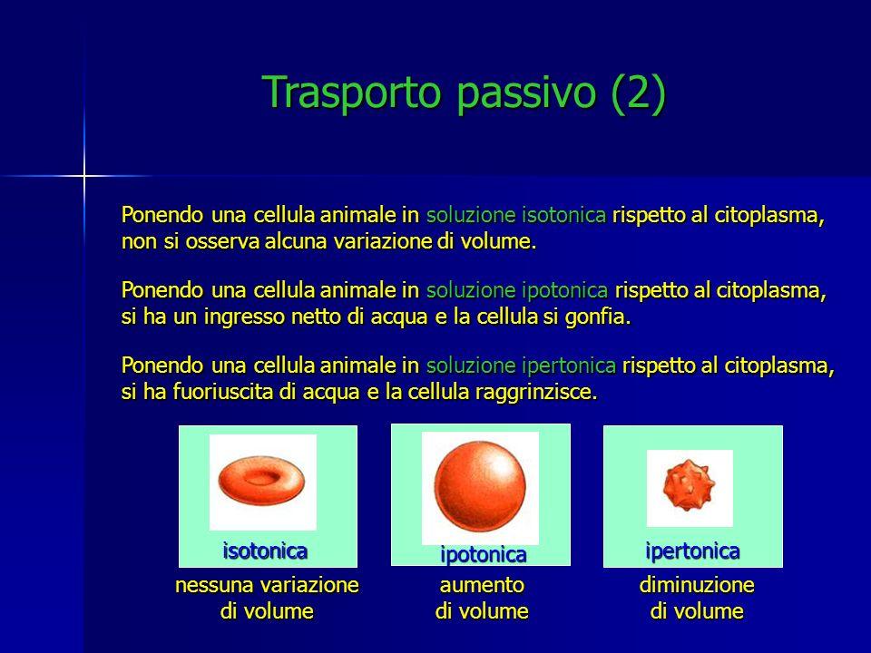 Trasporto passivo (2) Ponendo una cellula animale in soluzione isotonica rispetto al citoplasma, non si osserva alcuna variazione di volume. Ponendo u