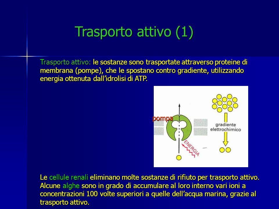 Trasporto attivo (1) Trasporto attivo: le sostanze sono trasportate attraverso proteine di membrana (pompe), che le spostano contro gradiente, utilizz