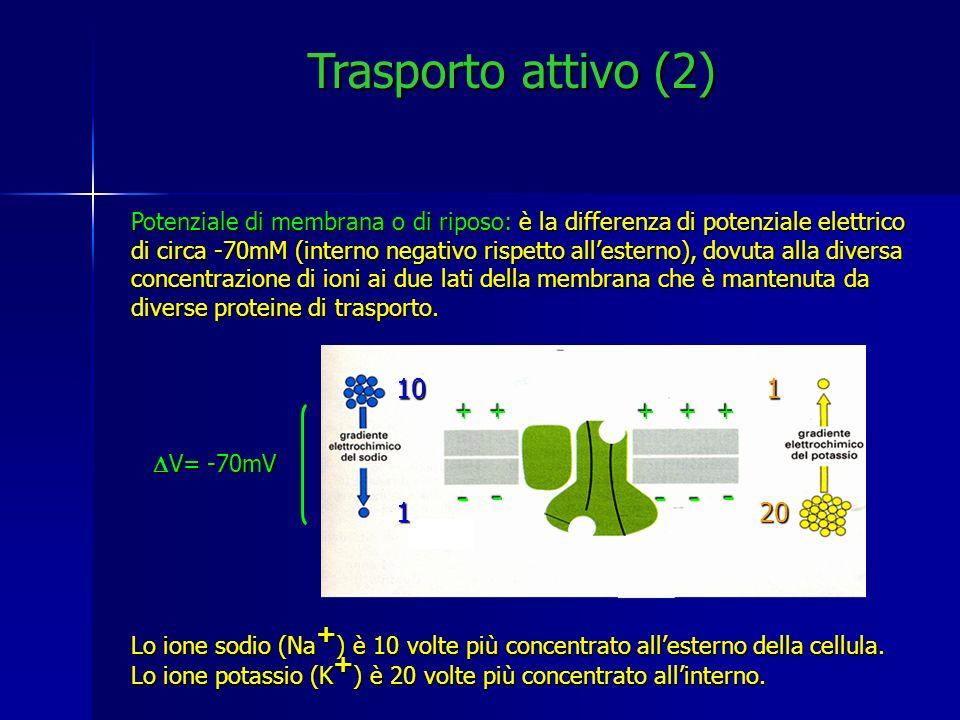 Trasporto attivo (2) Potenziale di membrana o di riposo: è la differenza di potenziale elettrico di circa -70mM (interno negativo rispetto allesterno)