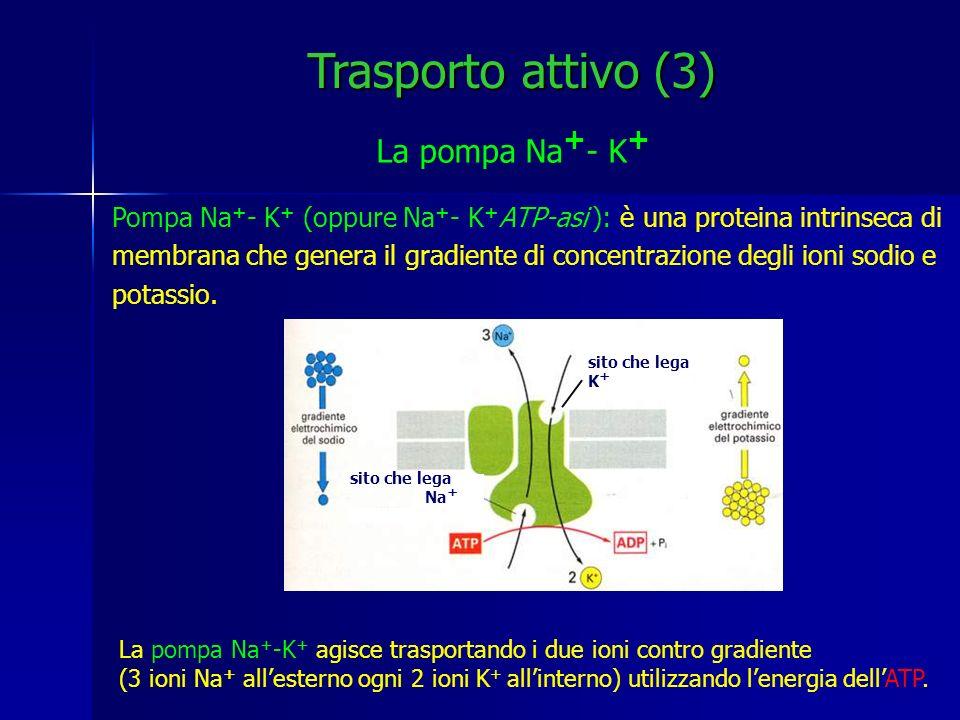 I gradienti di Na + e K + sono i principali responsabili di numerosi fenomeni: potenziale di membrana controllo del volume cellulare eccitabilità di cellule nervose e muscolari trasporto di sostanze nutritive (zuccheri, amminoacidi) Trasporto attivo (4) Gradienti elettrochimici Lenergia consumata sotto forma di ATP viene immagazzinata sotto forma di potenziale elettrochimico di membrana.