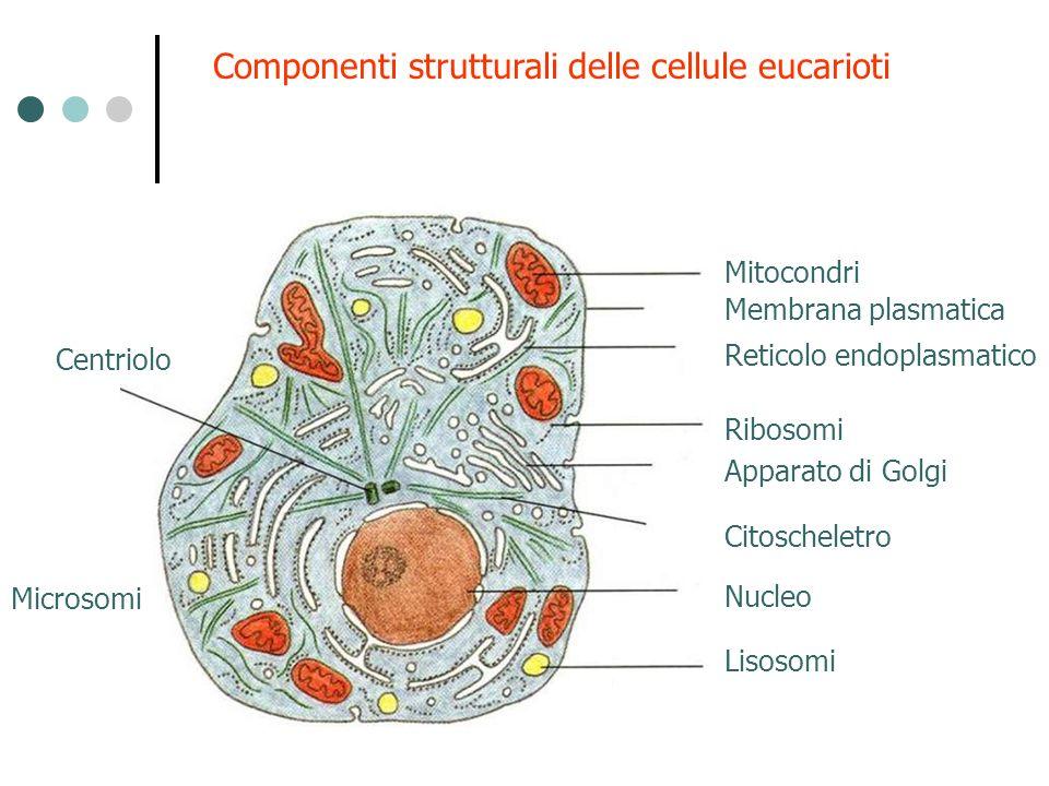 Componenti strutturali delle cellule eucarioti Mitocondri Ribosomi Apparato di Golgi Reticolo endoplasmatico Membrana plasmatica Lisosomi Nucleo Citos