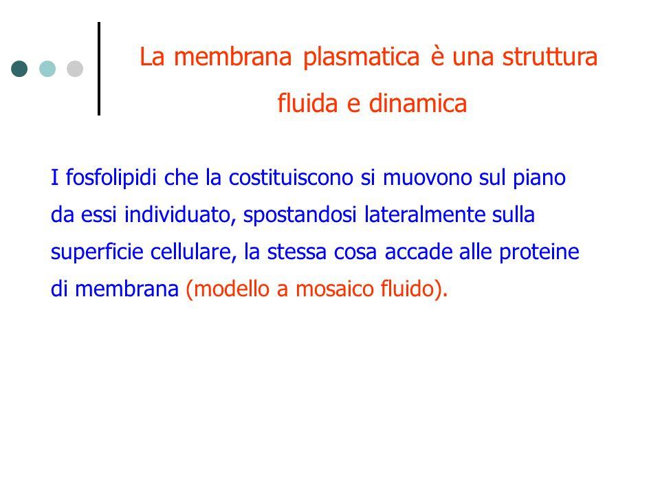La membrana plasmatica è una struttura fluida e dinamica I fosfolipidi che la costituiscono si muovono sul piano da essi individuato, spostandosi late
