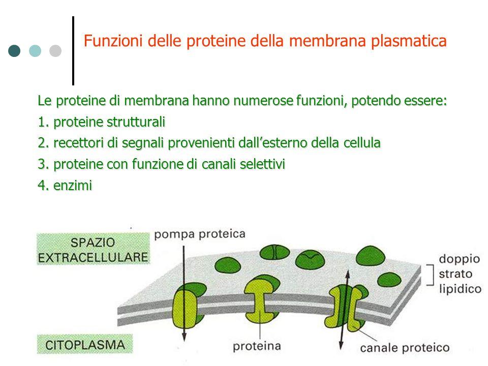Le proteine di membrana hanno numerose funzioni, potendo essere: 1. proteine strutturali 2. recettori di segnali provenienti dallesterno della cellula