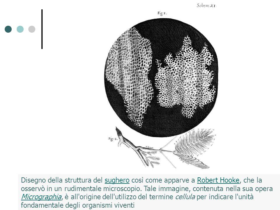 Disegno della struttura del sughero così come apparve a Robert Hooke, che la osservò in un rudimentale microscopio. Tale immagine, contenuta nella sua