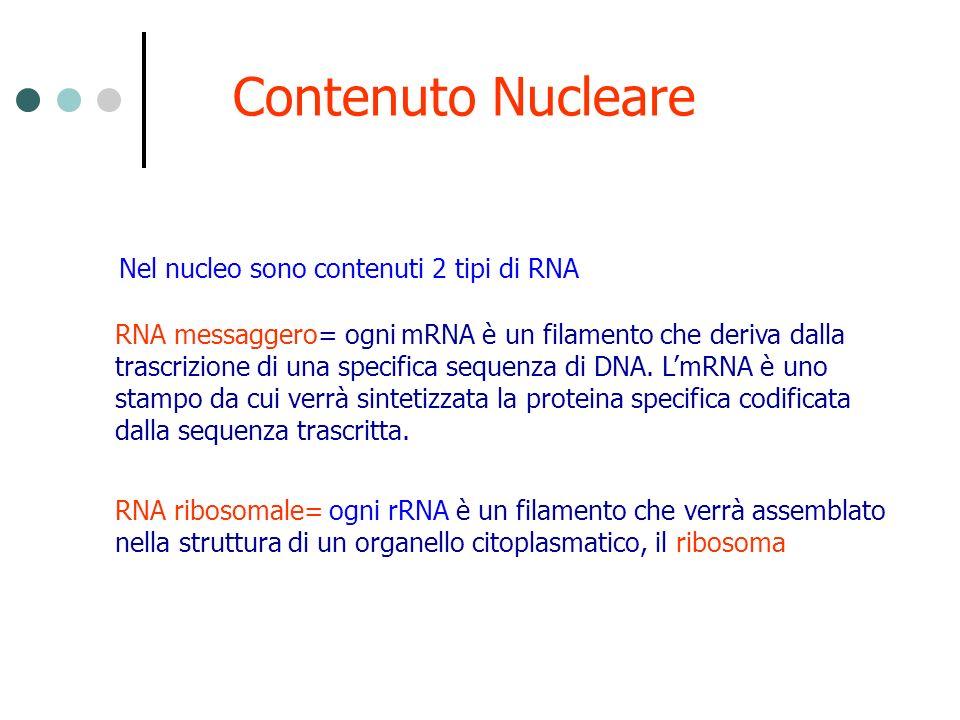RNA messaggero= ogni mRNA è un filamento che deriva dalla trascrizione di una specifica sequenza di DNA. LmRNA è uno stampo da cui verrà sintetizzata
