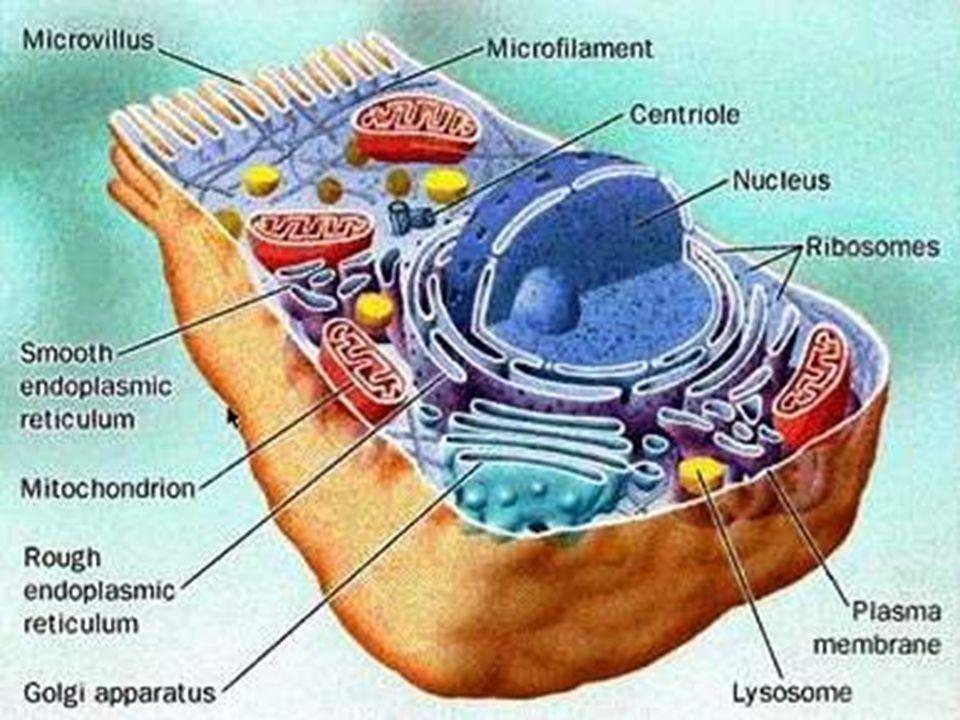 Le cellule vengono distinte in procariote ed eucariote in base alla presenza o meno nel citoplasma di: organelli, strutture specializzate nellesecuzione di alcune funzioni cellulari nucleo definito, contenete il DNA Cellula Eucariote e Procariote