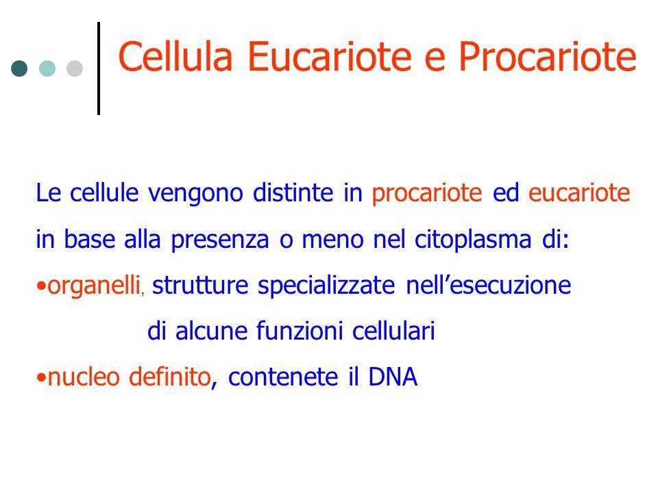 Cellula Procariote La parola procariote significa prima del nucleo, queste cellule infatti non ne sono dotate.