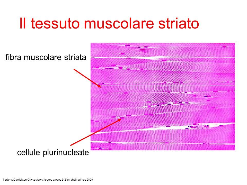 Tortora, Derrickson Conosciamo il corpo umano © Zanichelli editore 2009 Il tessuto muscolare striato fibra muscolare striata cellule plurinucleate