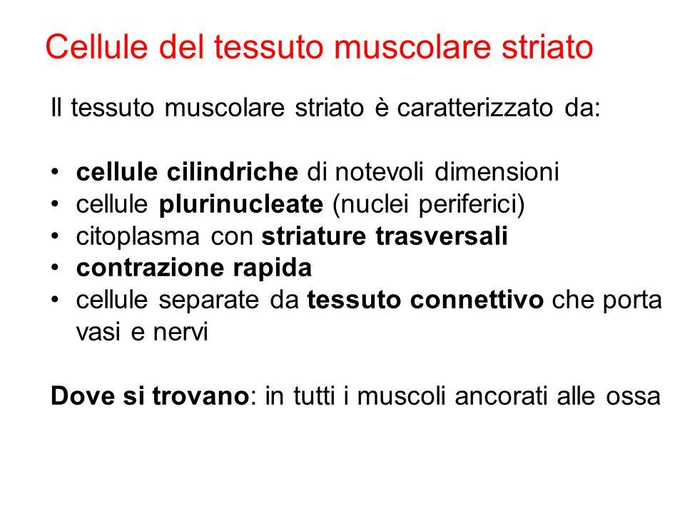Il tessuto muscolare striato è caratterizzato da: cellule cilindriche di notevoli dimensioni cellule plurinucleate (nuclei periferici) citoplasma con striature trasversali contrazione rapida cellule separate da tessuto connettivo che porta vasi e nervi Dove si trovano: in tutti i muscoli ancorati alle ossa Cellule del tessuto muscolare striato